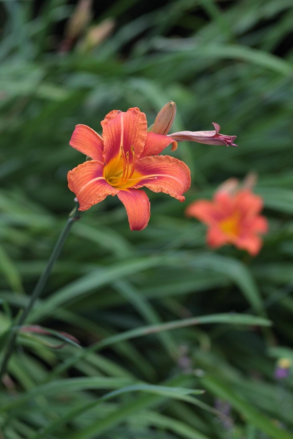 Meyer Trioplan 2 8 100 flowers